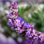 Лечебные свойства шалфея и применение в медицине